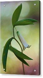 Bellwort - Spring 2013 Acrylic Print by Thomas J Martin