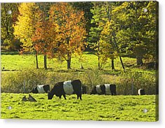 Belted Galloway Cows Grazing On Grass In Rockport Farm Fall Maine Photograph Acrylic Print by Keith Webber Jr