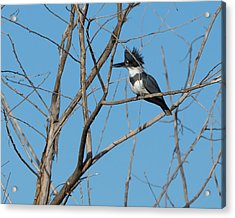Belted Kingfisher 4 Acrylic Print by Ernie Echols