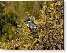 Belted Kingfisher Female Acrylic Print by Anthony Mercieca