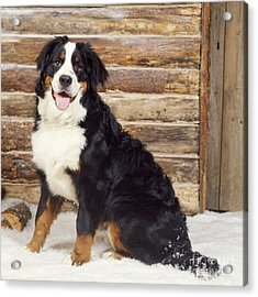 Bernese Mountain Dog Acrylic Print by John Daniels