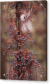 Berries On A Tree, Healdsburg, Russian Acrylic Print by Panoramic Images