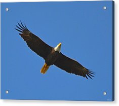Best Soaring Bald Eagle Acrylic Print by Jeff at JSJ Photography