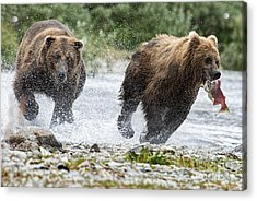 Big Bully On Funnel Creek Katmai National Park Acrylic Print by Dan Friend