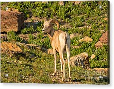 Bighorn Sheep Ram In Glacier Acrylic Print by Natural Focal Point Photography