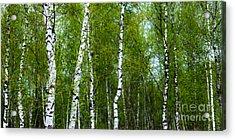 Birch Forest Acrylic Print by Hannes Cmarits