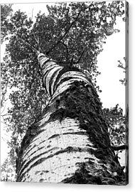 Birch Tree Acrylic Print by Tim Buisman