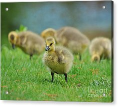 Bird - Baby Goose -leader Of The Pack Acrylic Print by Paul Ward