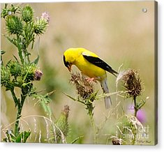 Bird -gold Finch Feasting  Acrylic Print by Paul Ward