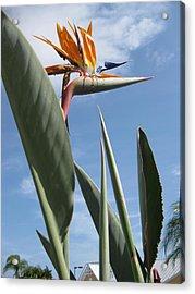 Bird Of Paradise Acrylic Print by Brenda Burns