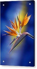 Bird Of Paradise Acrylic Print by Kirk Ellison