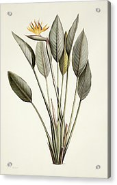 Bird Of Paradise Acrylic Print by Pierre Joseph Redoute