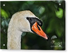 Bird - Swan - Mute Swan Close Up Acrylic Print by Paul Ward
