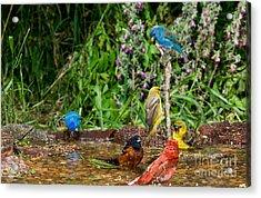 Birds Bathing Acrylic Print by Anthony Mercieca