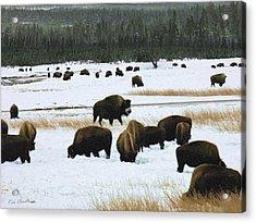 Bison Cows Browsing Acrylic Print by Kae Cheatham