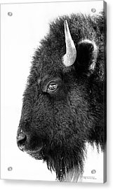 Bison Formal Portrait Acrylic Print by Dustin Abbott