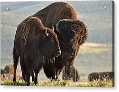 Bison Friends Acrylic Print by Bruce Gourley