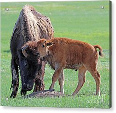 Acrylic Print featuring the photograph Bison With Young Calf by Bill Gabbert