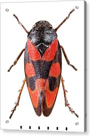 Black-and-red Froghopper Acrylic Print by Natural History Museum, London