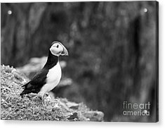Black And White Black And White Bird Acrylic Print by Anne Gilbert