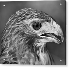 Black And White Hawk Portrait Acrylic Print by Dan Sproul