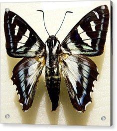 Black And White Moth Acrylic Print by Rosalie Scanlon