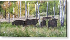 Black Angus Grazing Acrylic Print by Tammy  Taylor