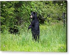 Black Bear Standing Upright Looking Acrylic Print by Dan Friend