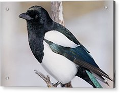 Black-billed Magpie Acrylic Print by Eric Glaser