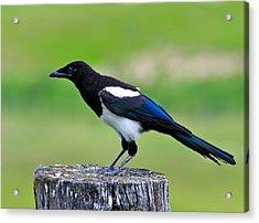 Black Billed Magpie Acrylic Print by Karon Melillo DeVega