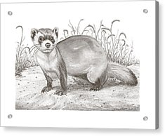 Black-foot Ferret Acrylic Print by Gary Pritts