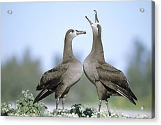 Black-footed Albatross Courtship Dance Acrylic Print by Tui De Roy
