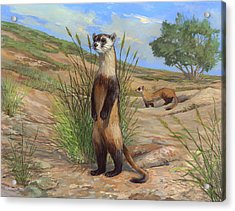 Black-footed Ferret Acrylic Print by ACE Coinage painting by Michael Rothman