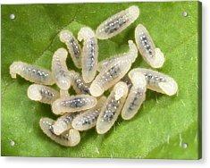 Black Garden Ant Larvae Acrylic Print by Nigel Downer