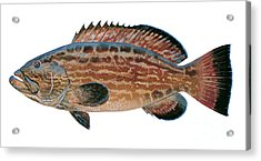 Black Grouper Acrylic Print by Carey Chen