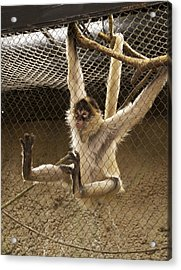 Black Handed Spider Monkey Just Sitting Around Acrylic Print by Thomas Woolworth