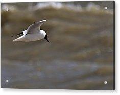 Black Headed Gull In Flight Rye Harbour Kent England Acrylic Print by Mr Bennett Kent