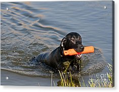 Black Labrador Retriever, Retrieving Acrylic Print by William H. Mullins