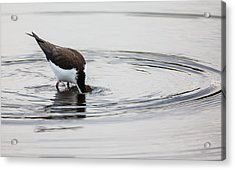Black-necked Stilt Breaking The Water Line Acrylic Print by Andres Leon