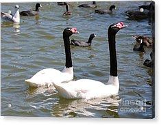 Black-necked Swans Acrylic Print by Carol Groenen