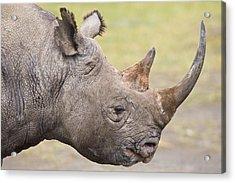 Black Rhino Great Rift Valley Kenya Acrylic Print by Elliott Neep