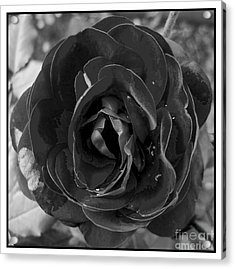 Black Rose Acrylic Print by Nina Ficur Feenan