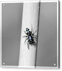 Black Spider In Black And White Acrylic Print by Toppart Sweden