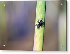 Black Spider In Reeds Acrylic Print by Toppart Sweden