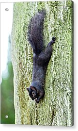 Black Squirrel Eating A Nut Acrylic Print by John Devries
