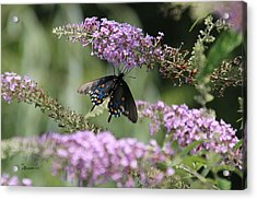 Black Swallowtail1-featured In Newbies-nature Wildlife- Digital Veil-comfortable Art Groups Groups Acrylic Print by EricaMaxine  Price