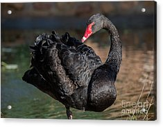 Black Swan Acrylic Print by George Atsametakis