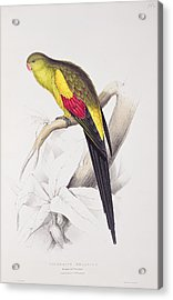 Black Tailed Parakeet Acrylic Print by Edward Lear