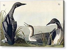 Black Throated Diver  Acrylic Print by John James Audubon
