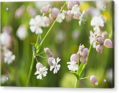 Bladder Campion _silene Vulgaris__ Acrylic Print by Carl Bruemmer